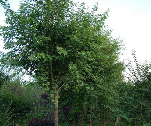 供应西府海棠种植-大连苗木,大连绿化苗