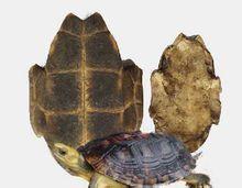 龟板提取物