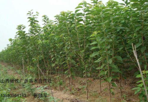4、5公分樱桃树低价优惠供应