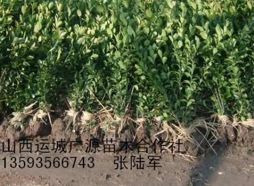 冬青苗小叶黄杨卫矛苗大量出售