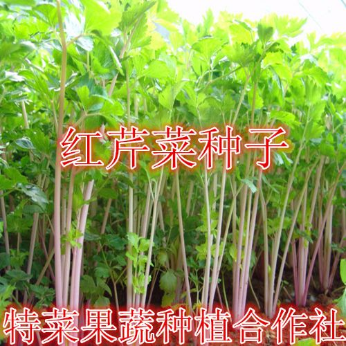 红芹菜种子