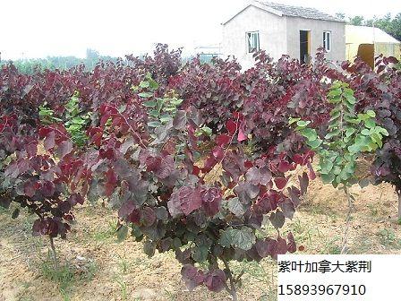 大量供应紫叶加拿大紫荆