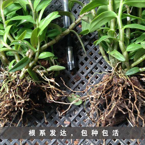 铁皮石斛种苗